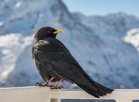 Alpine chough near the Elbrus