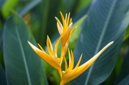 heliconiaceae: Heliconia bloom in a garden Stock Photo