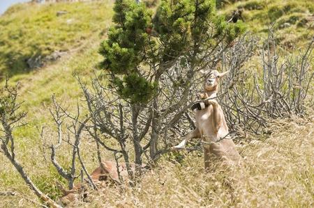 Brown Goat eating leaves on Rigi Mountain photo