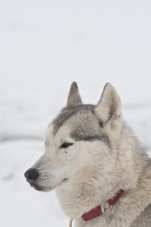 Husky Dog at dogsled race in Saignelegier, Switzerland photo