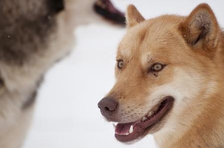 Brown Husky dog Portrait at Dogsled Race, Saignelegier, Switzerland photo