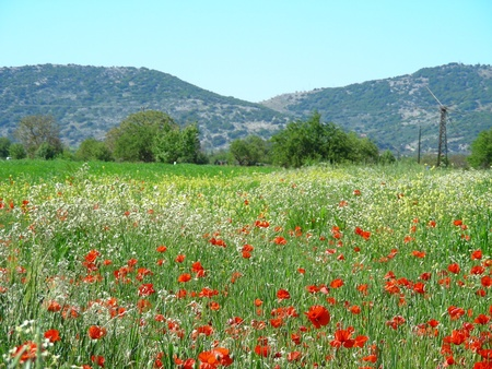 plateau of flowers: Field with poppy flowers and windmill, Lasithi plateau, Creta, Greece Stock Photo