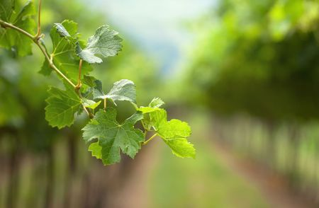 grape field: A vine branch on the vine rows background, focus is on the single branch, tender lightening Stock Photo