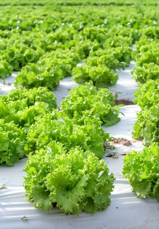 View of bright green lettuce fields Stock Photo