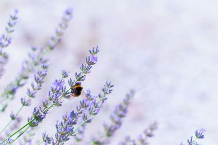 Lavender flowers in summer photo
