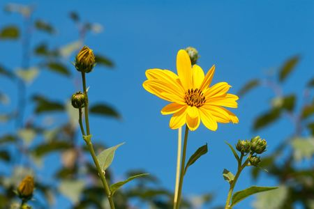 Yellow autumn flowers over the blue sky photo