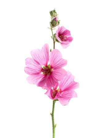 Pink malva flowers, isolated on white Stock Photo - 7305317