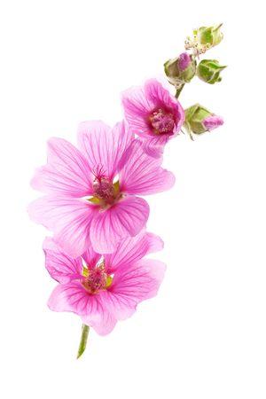 Pink malva flowers, isolated on white