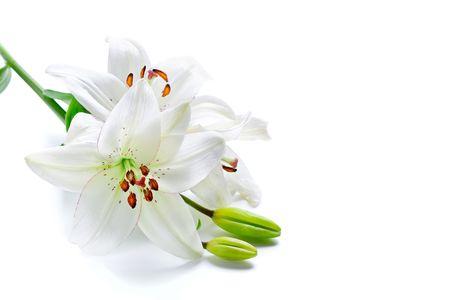 lirio blanco: Lirio blanco hermosas flores, aislados en blanco