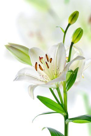 giglio: Fiori di giglio bianco bella, isolate on white