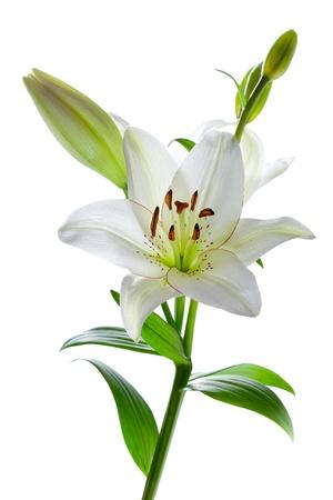 Pięknego białego lila kwiecie, samodzielnie na biały
