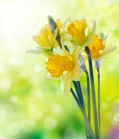 아름 다운 노란 수 선화 꽃 배경 흐리게에