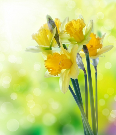 flower petal: Beautiful yellow daffodil flowers on blurred background