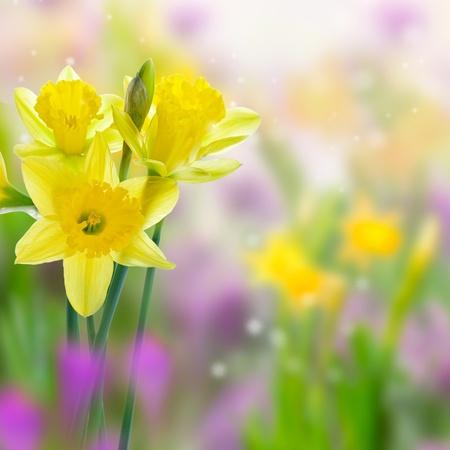 flor morada: Bellas flores Narciso amarillos en las praderas, sobre fondo borrosa