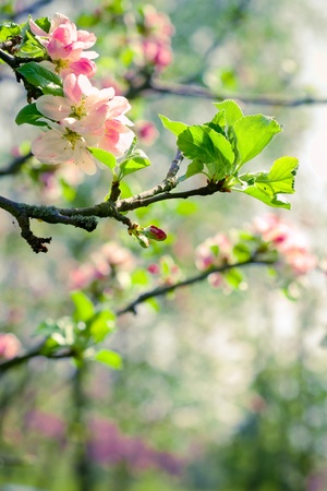 Branch of a blossoming apple tree on garden background photo