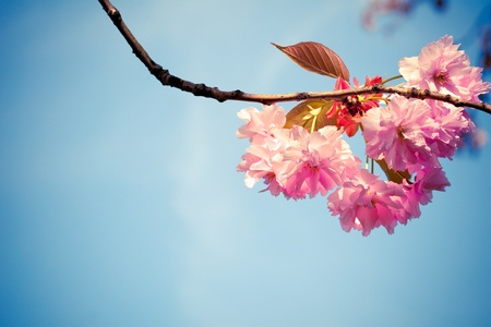 Beautiful pink spring flowers (Prunus triloba) on blue sky background photo