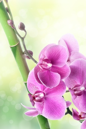 Beautiful purple orchid flowers and bamboo on blurred natural background photo