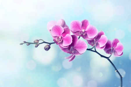 Orchid flowers on blurred blue background Stock Photo