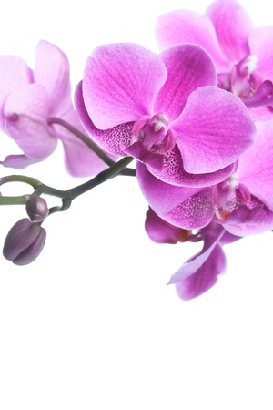 Beautiful purple orchid flowers isolated on white, closeup shot photo