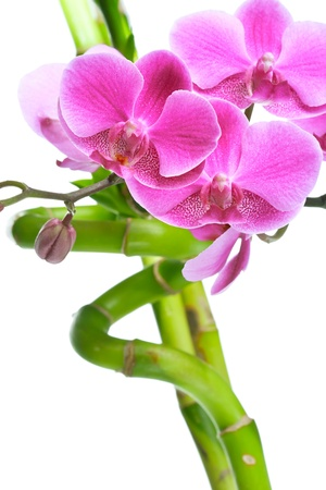 Beautiful purple orchid flowers and bamboo isolated on white