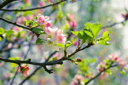 arbol de manzanas: Flor de primavera: la rama de un manzano en flor en el fondo del jardín Foto de archivo