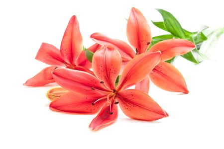 Beautiful fresh pink red lily flowers, isolated on white Stock Photo - 12838613