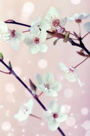 Spring cherry blossom (sakura flowers) over pink blurry background Stock Photo - 12838675