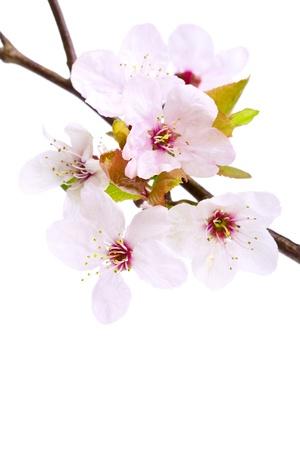 cherries isolated: Pink cherry blossom (sakura flowers), isolated on white, shallow dof Stock Photo