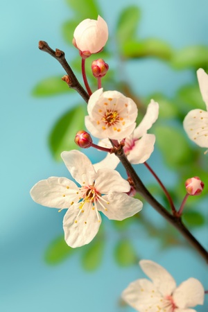 Cherry blossom  sakura flowers , isolated on blue, closeup shot Stock Photo - 12921598