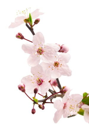 Rosa Kirschblüte Sakura Blumen, auf weißen, flachen dof isoliert Standard-Bild