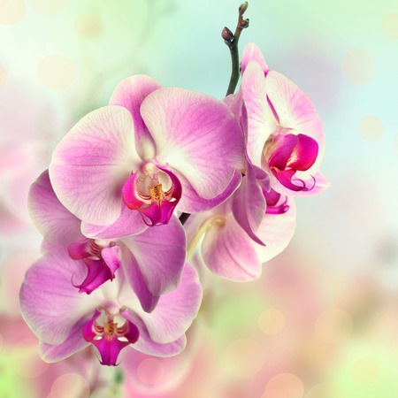 white orchids: Beautiful pink orchid flowers on blurred background Stock Photo