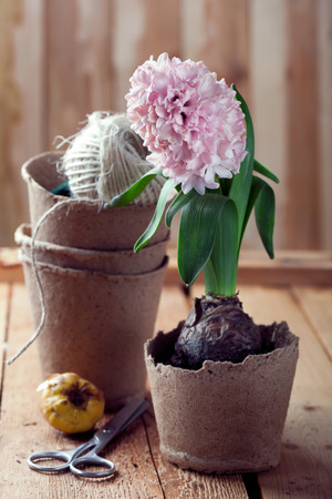 Hyacinth flowers in compostable pots, flower bulbs and gardening tools on old wooden table, toned photo photo