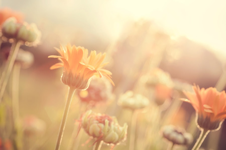 Abstract nature blurred background - orange flower on meadow with sun rays, toned photo