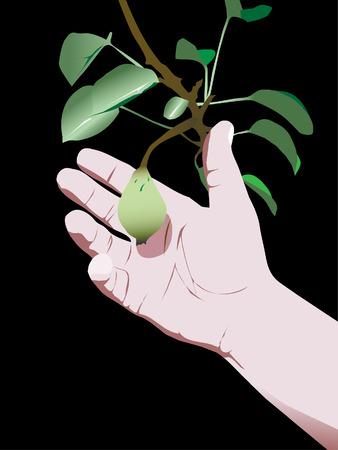 pear harvesting Stock Vector - 7560931