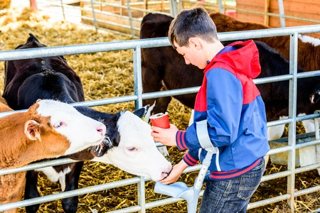 Day view disabled boy on crutches feeding calfs