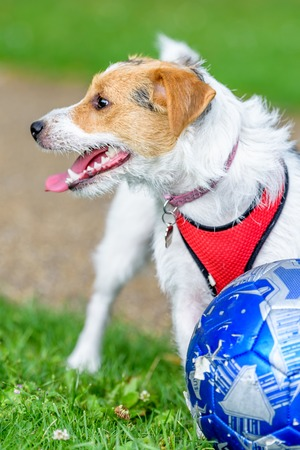 jack russell terrier dog in park looking up ready to play with owner