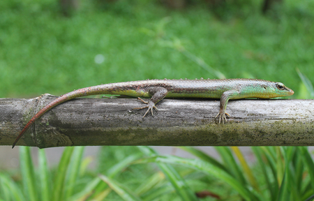 reptile: Green exotic reptile on the log
