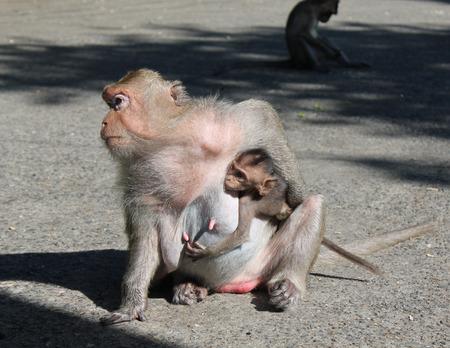 fauna: Monkey with cub female monkey holding her baby. Themes: animals, fauna, nature, exotic Stock Photo