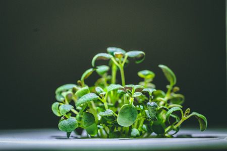 enlarged image of a little green thyme plant sprout growing from ground in the smart farm, concept of ecologic agriculture Stockfoto