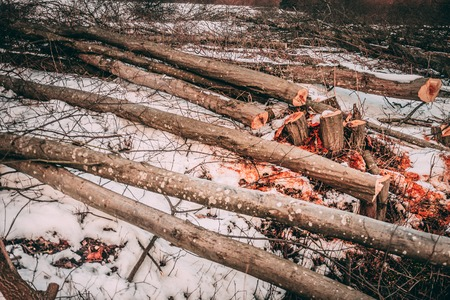 Folded trees lie in the snow  in winter. Orange sawdust and shavings. The concept of ecology and nature protection Imagens