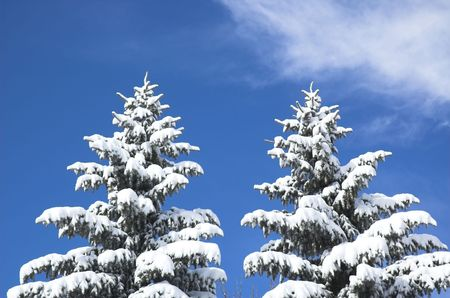 Snow covered evergreens on a winter day. photo