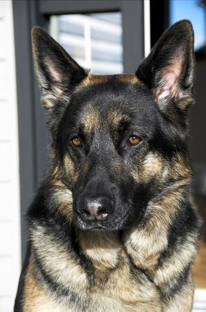 German shepherd dog rsitting expectantly on his front porch. Stock Photo - 2544331