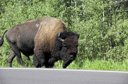 meadowland: American bison grazing along the road in Elk Island National Park