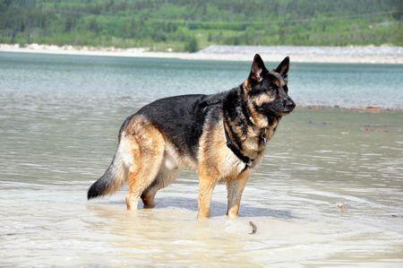 黒と黄褐色のジャーマン ・ シェパード犬 写真素材