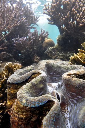 Green giant clam shellfish on coral reef in Hawaii