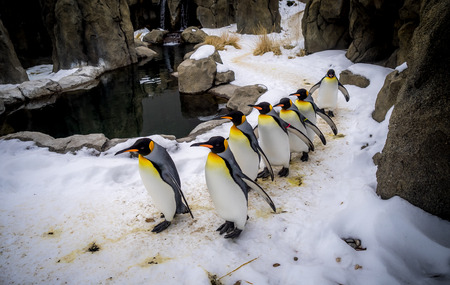 waddling: King Penguins walking at an outdoor exhibit at the zoo. Stock Photo