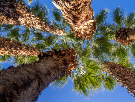 golf of california: California Palms and the blue sky at a Palm Desert golf resort.
