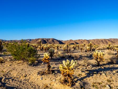 cholla: Cholla Garden in Joshua Tree National Park, California, USA, where the Mojave and Colorado desert ecosystems meet.
