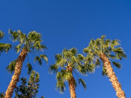 palm desert: California Palms and the blue sky at a Palm Desert golf resort.