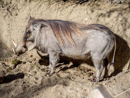 buena postura: Warthog Phacochoerus africanus profile at a north american zoo.